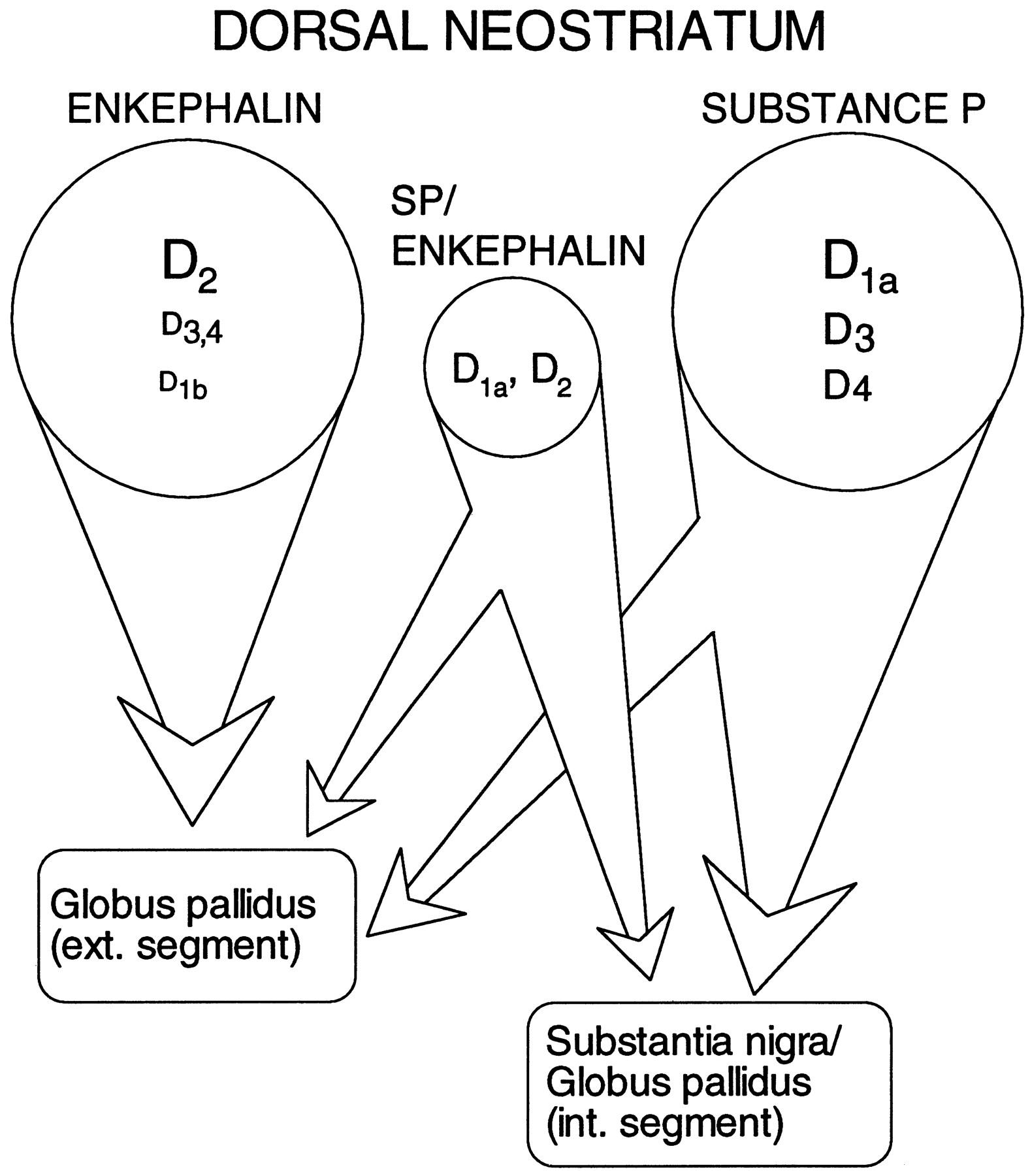 Coordinated Expression of Dopamine Receptors in Neostriatal Medium