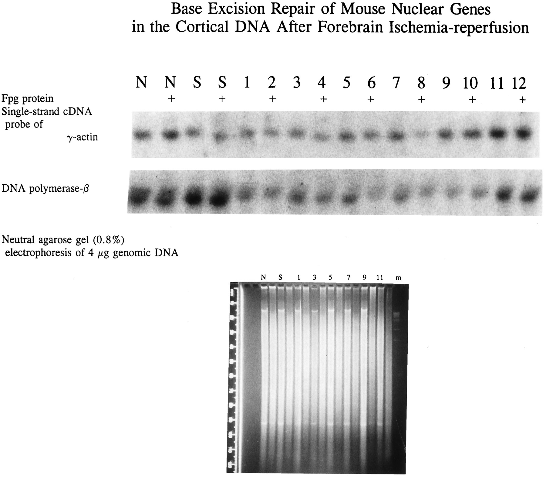 damage repair and mutagenesis in nuclear genes after mouse