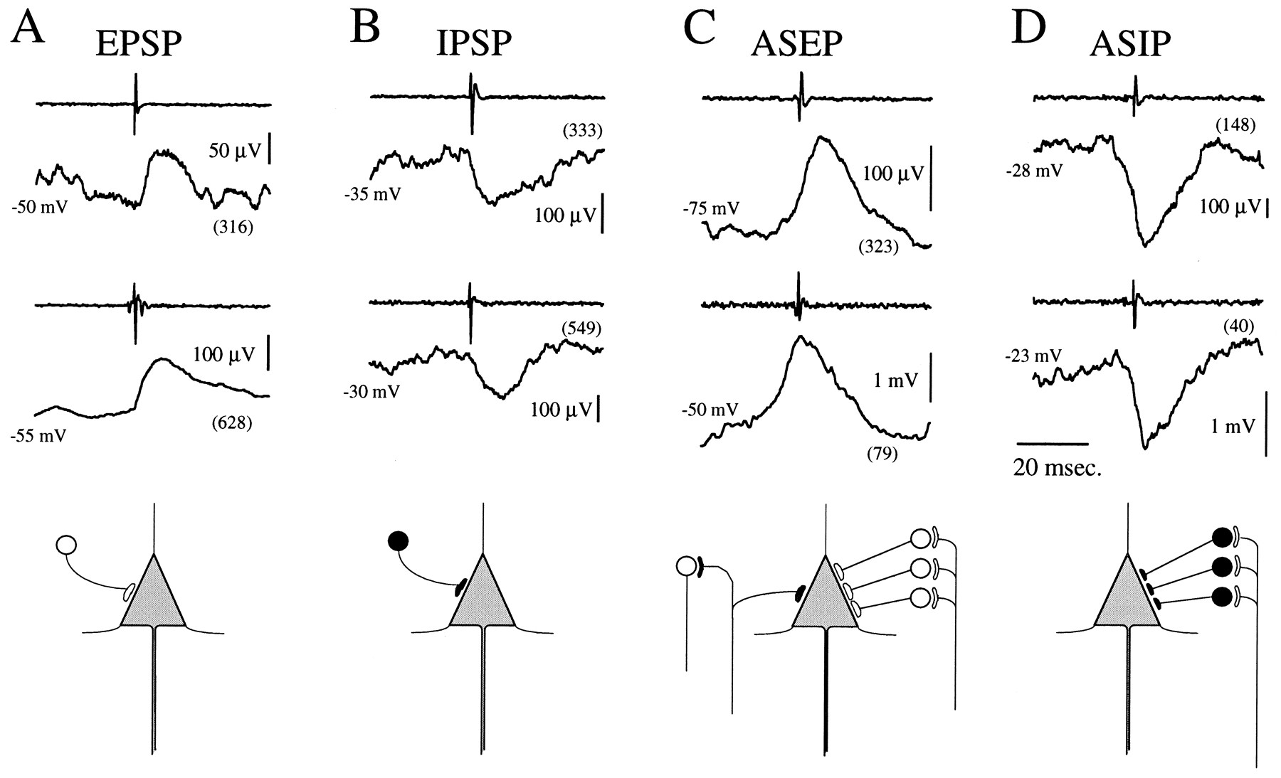 Synaptic Interactions between Primate Precentral Cortex Neurons ...