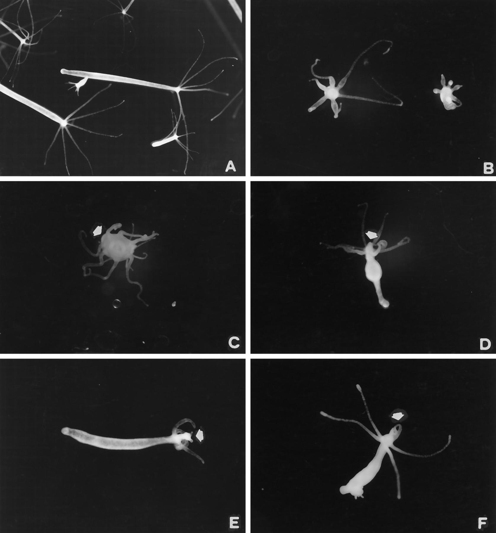 Nitric Oxide Involvement In Hydra Vulgaris Very Primitive Olfactory Biology Diagram Coelenterate Download Figure