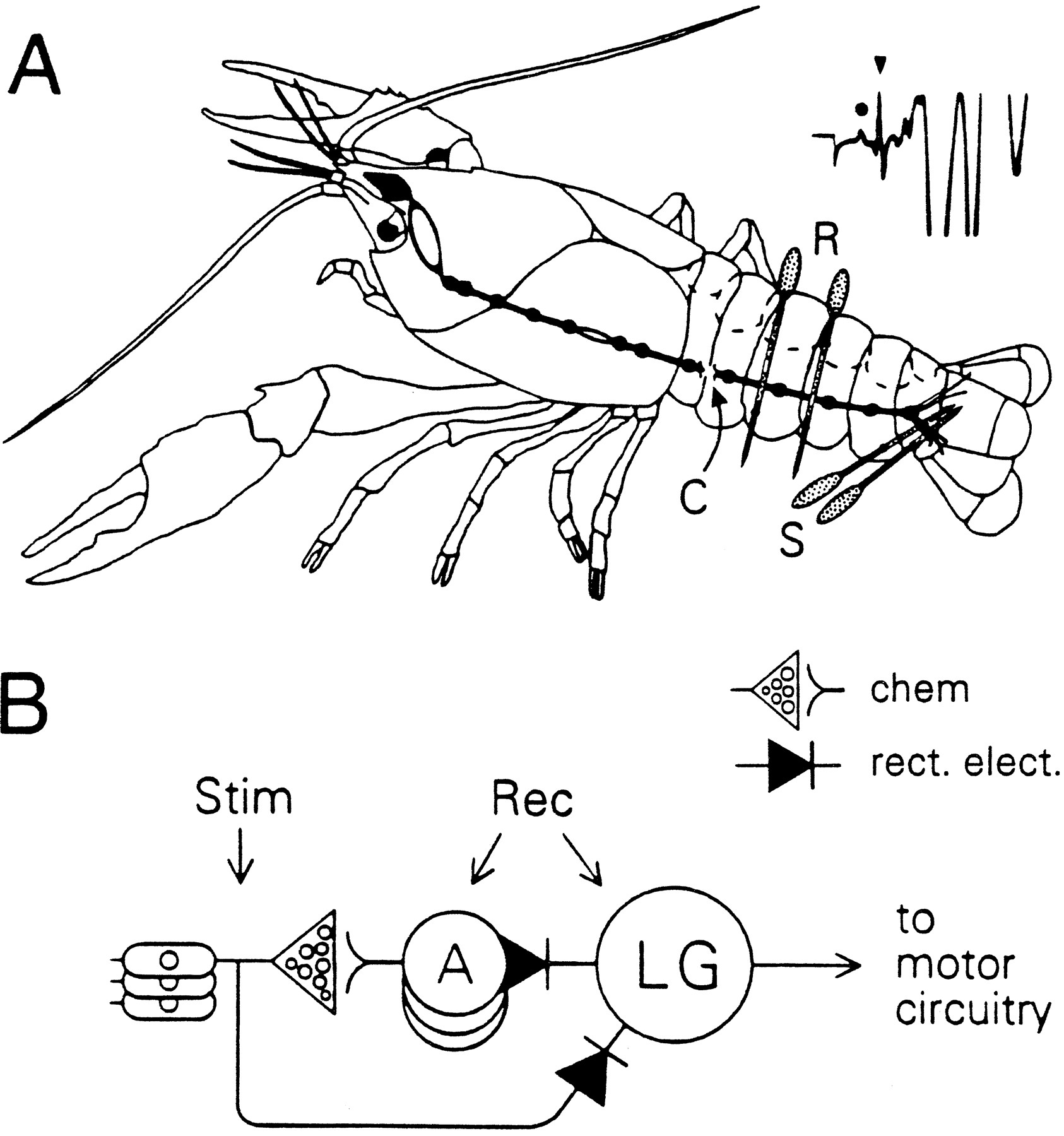Altered Excitability Of The Crayfish Lateral Giant Escape Reflex Circuit Here Are Two More Circuits That Obviously Have Not Been Tried Download Figure