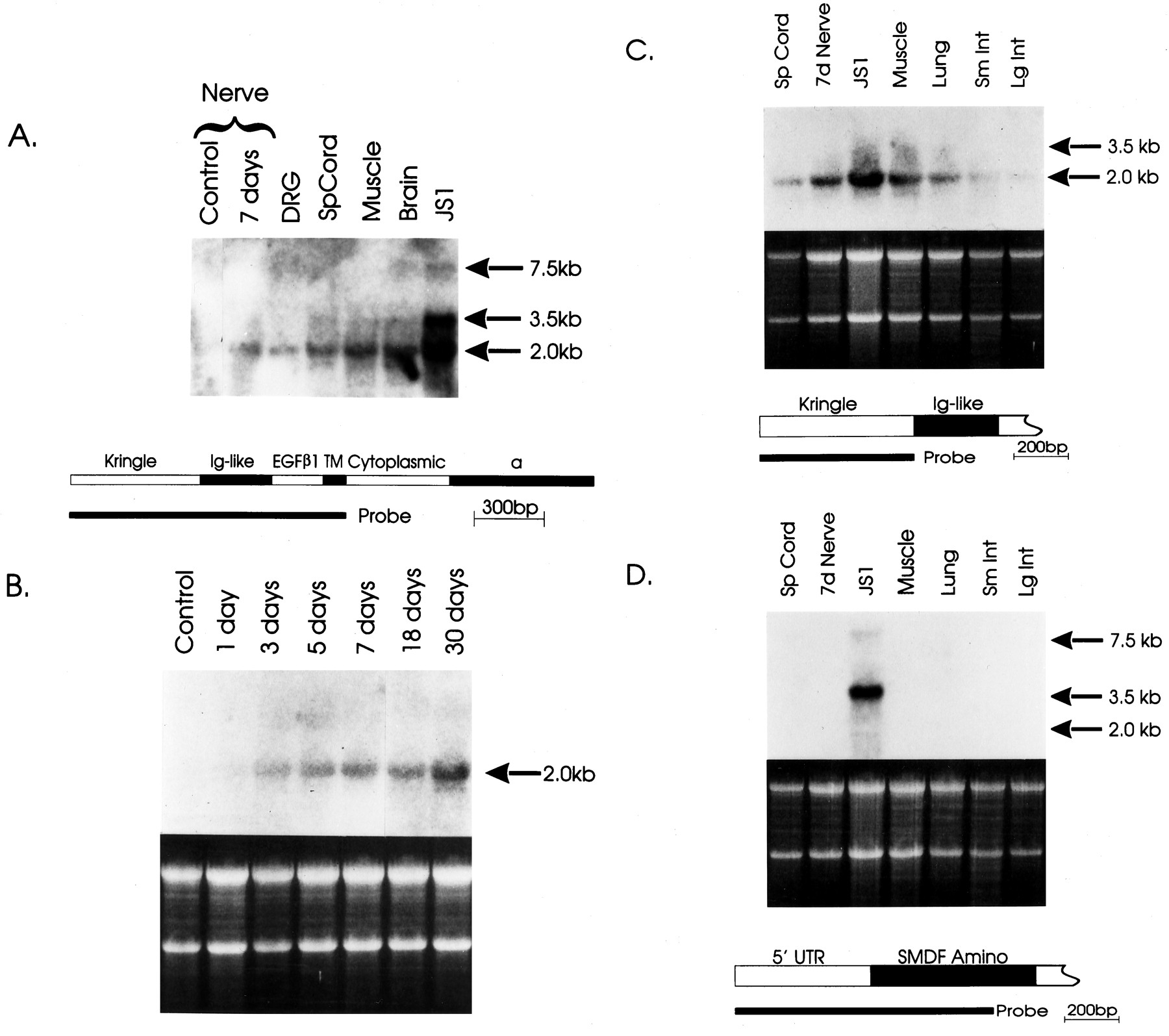 Expression of Neuregulins and their Putative Receptors ErbB2 and