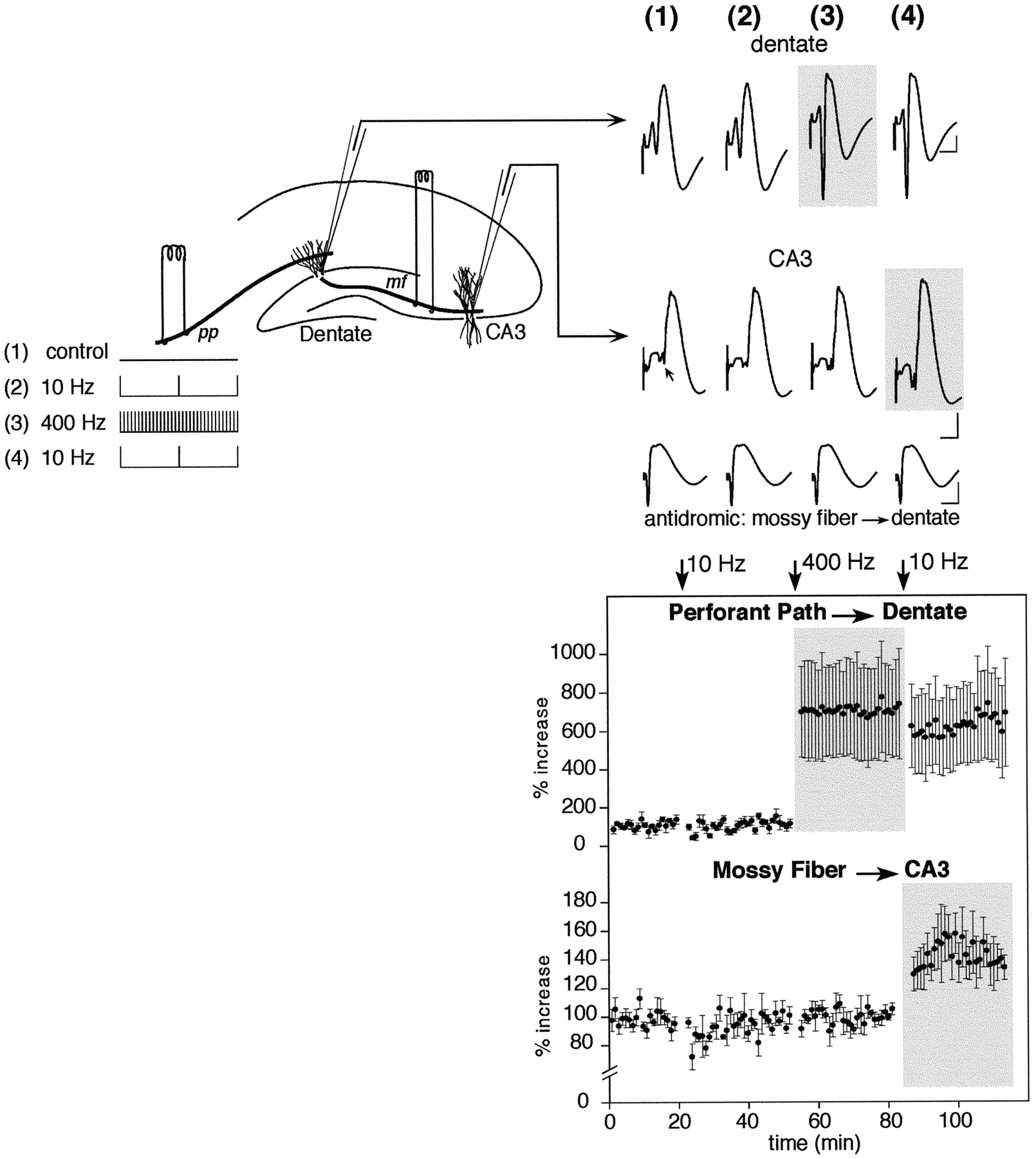 Spatial Distribution of Potentiated Synapses in Hippocampus