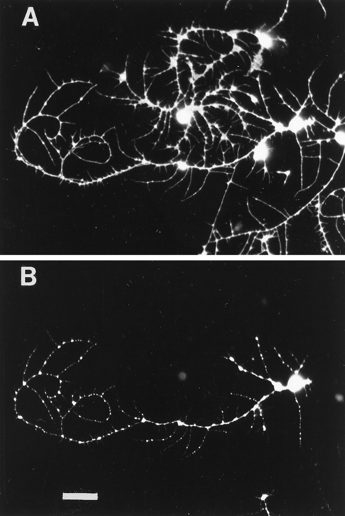 The Steroid Hormone 20 Hydroxyecdysone Enhances Neurite Growth Monochrome Topology Of A Printed Circuit Board Stock Photos Image Download Figure