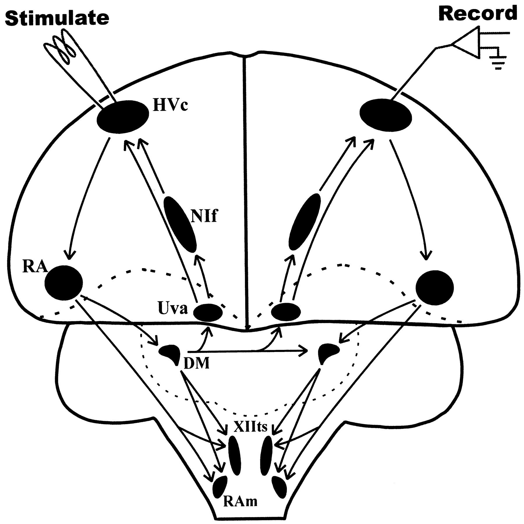 interhemispheric coordination of premotor neural activity during Diagram for Head download figure