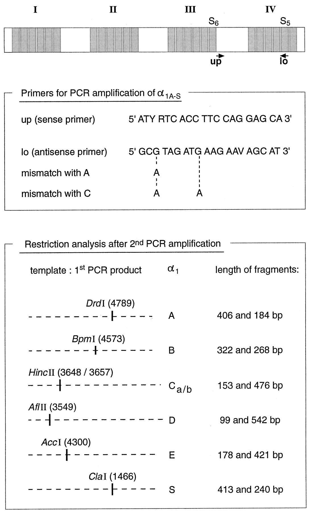 Single Cell RT PCR and Functional Characterization of Ca2 Channels