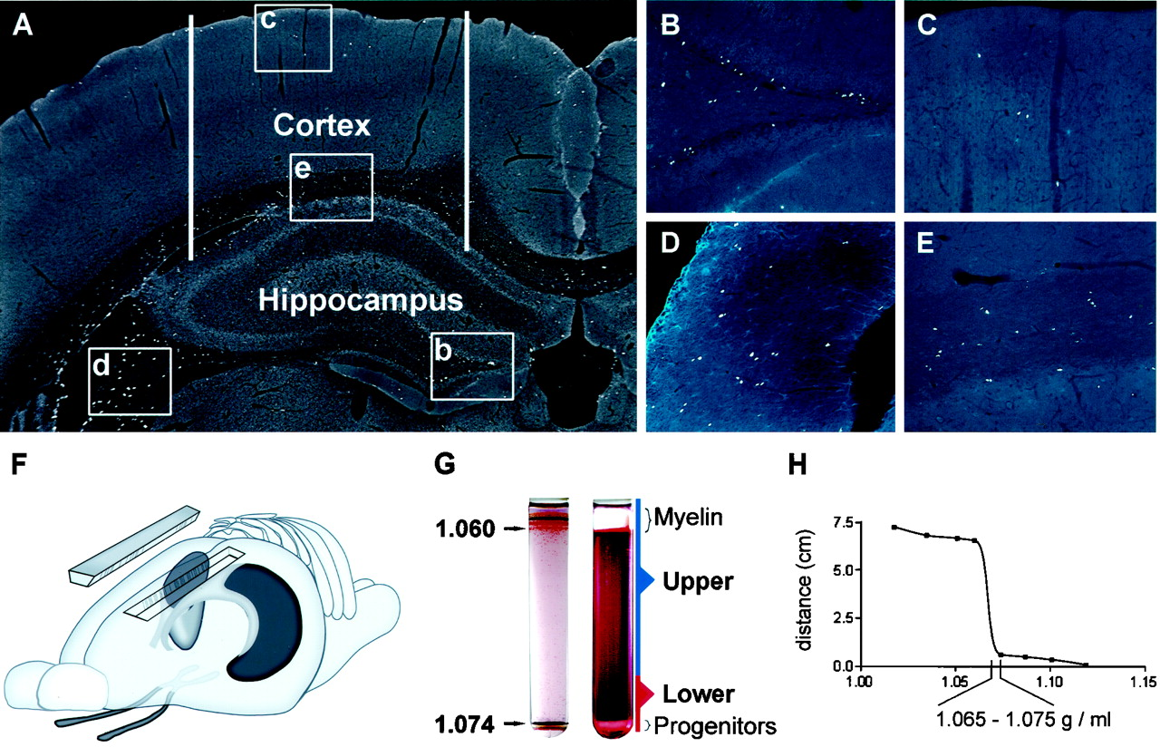 Adult and cannabinoids hippocampus neurogenesis embryonic promote