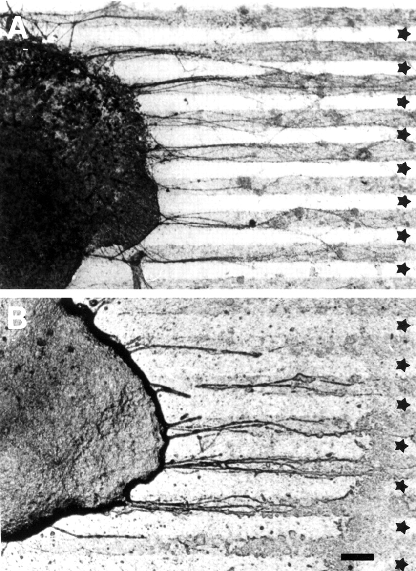 A Role for the Eph Ligand Ephrin-A3 in Entorhino-Hippocampal Axon ...