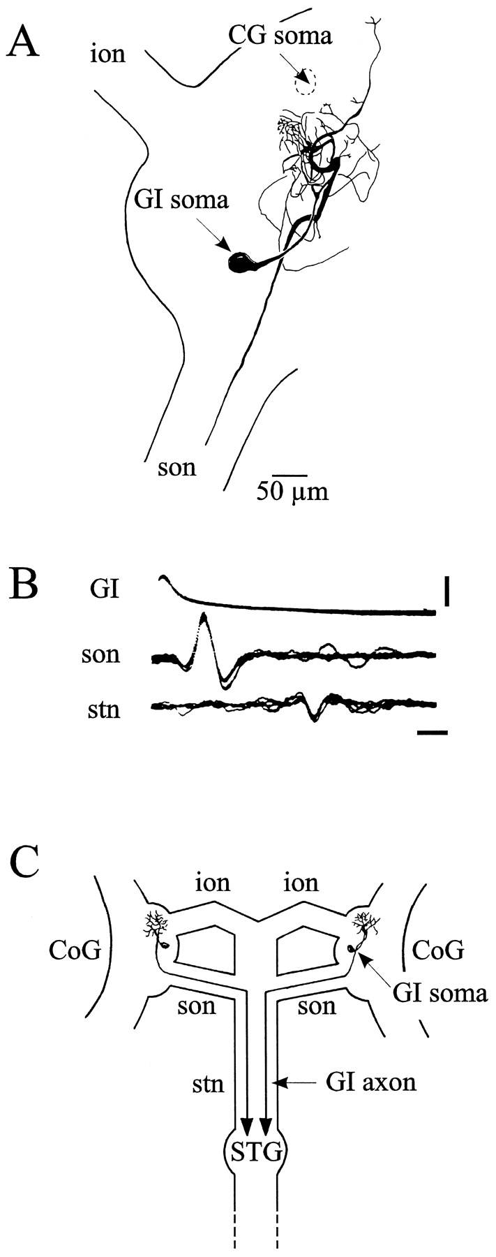 Motor Pattern Specification by Dual Descending Pathways to a Lobster
