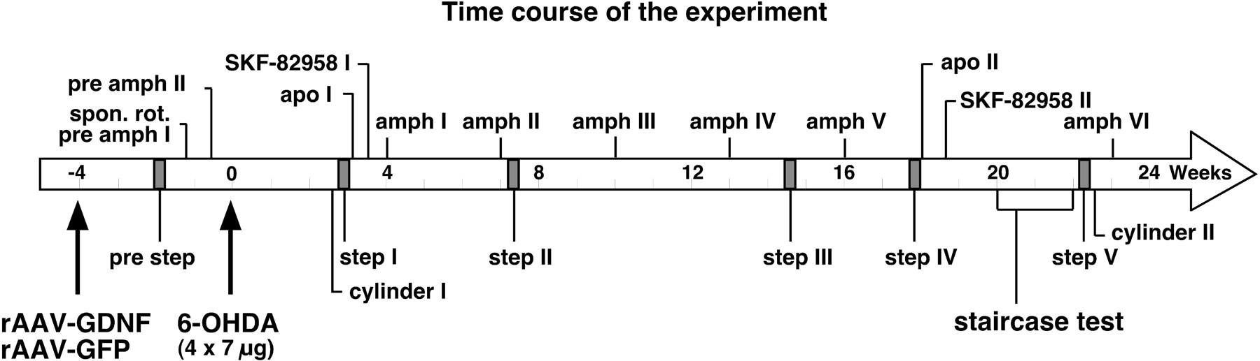 Long-Term rAAV-Mediated Gene Transfer of GDNF in the Rat