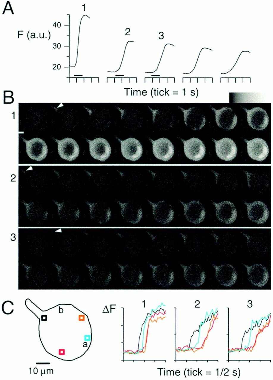 Origin Sites of Calcium Release and Calcium Oscillations in Frog