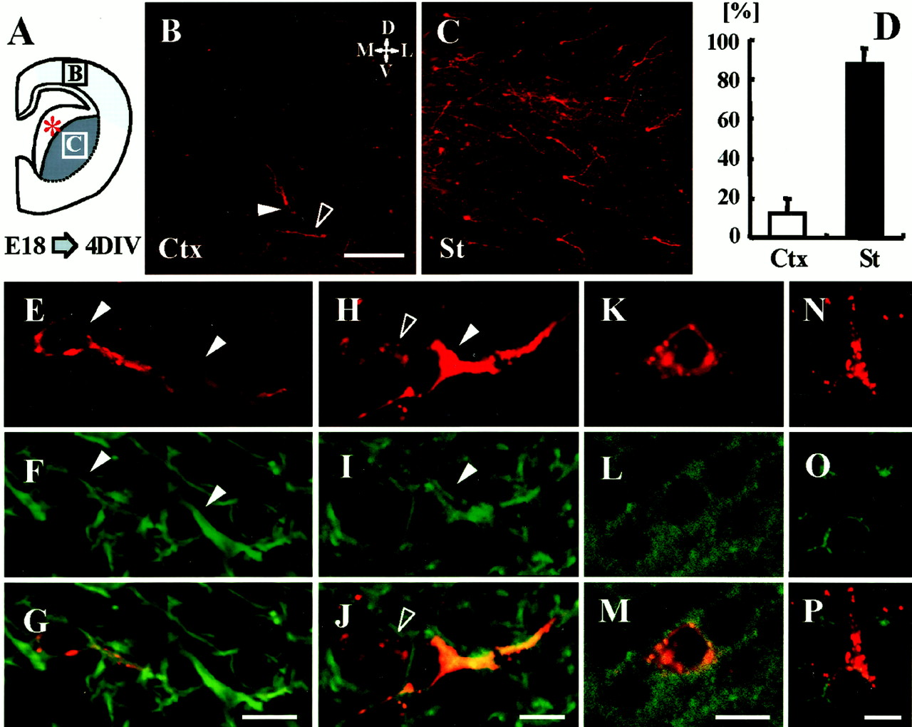 A Role of Netrin-1 in the Formation of the Subcortical Structure