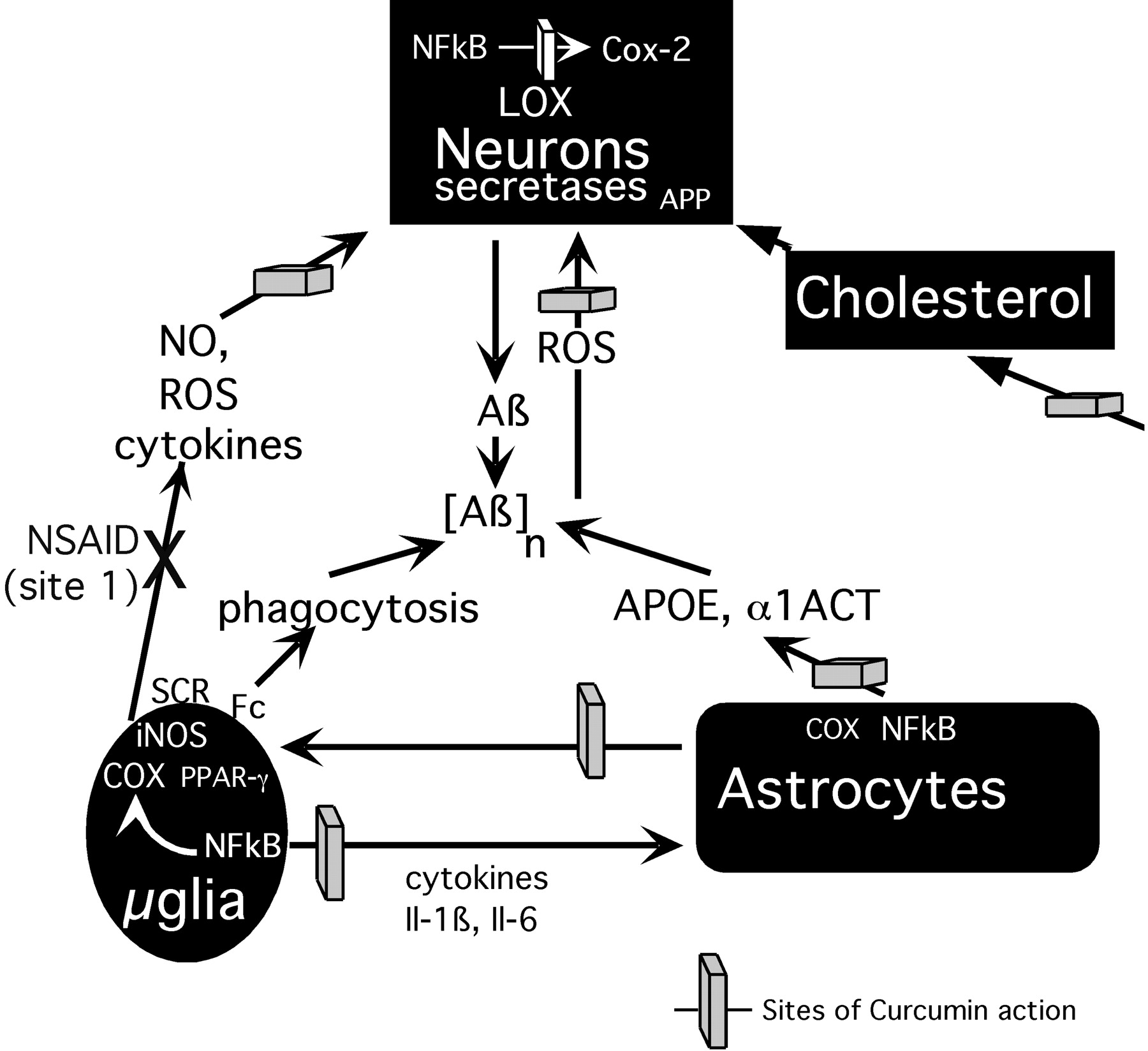 The Curry Spice Curcumin Reduces Oxidative Damage and