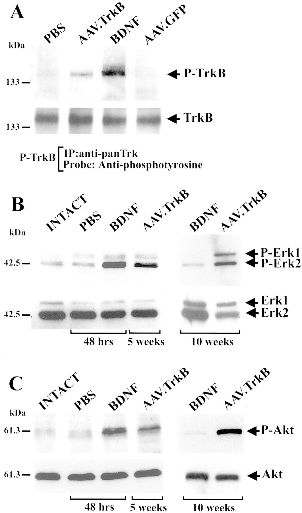 gene transfer ppt