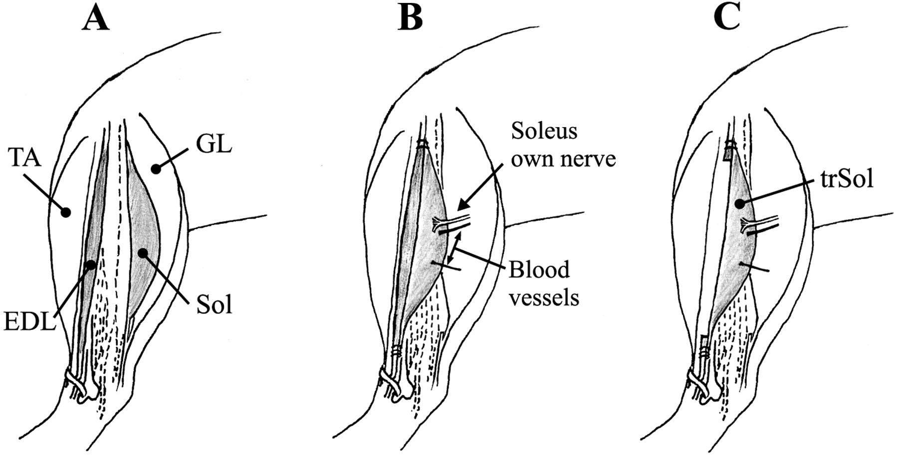 altered electromyographic activity pattern of rat soleus