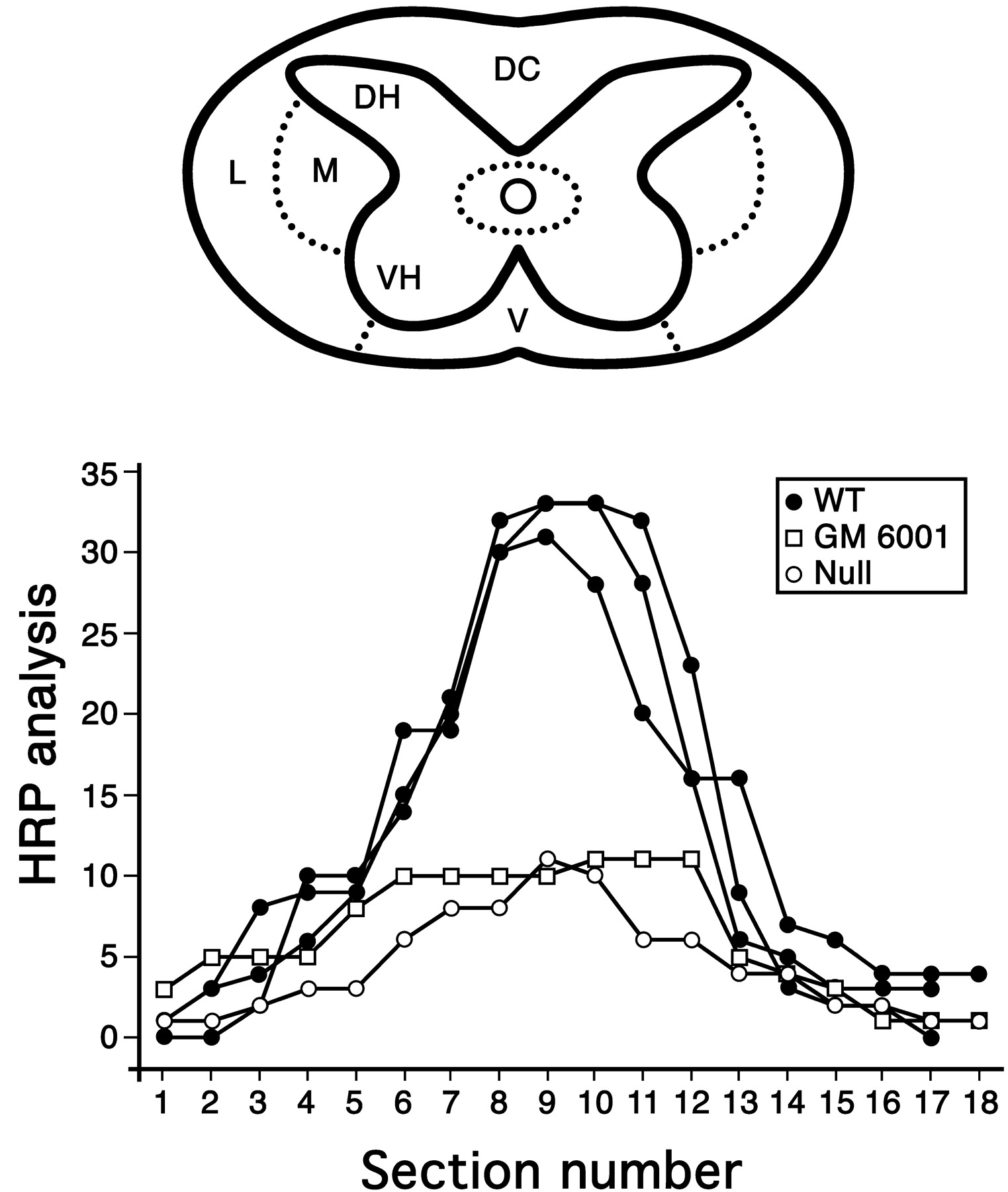 matrix metalloproteinases limit functional recovery after spinal Spinal Cord Diagram Body download figure