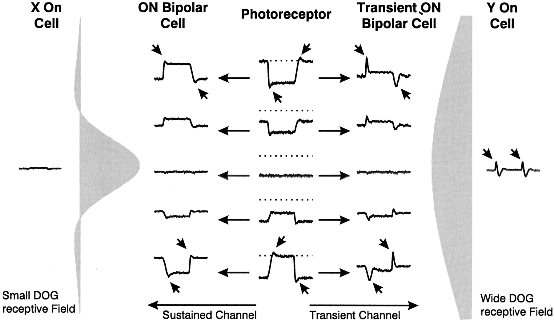 The Influence Of Different Retinal Subcircuits On Nonlinearity Circuit Diagram Cell Download Figure