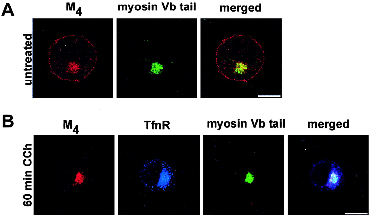 Rab11a And Myosin Vb Regulate Recycling Of The M4muscarinic Powerpoint Slide Traffic Signal Diagram Multicolor 3 Lights Mp Download Figure