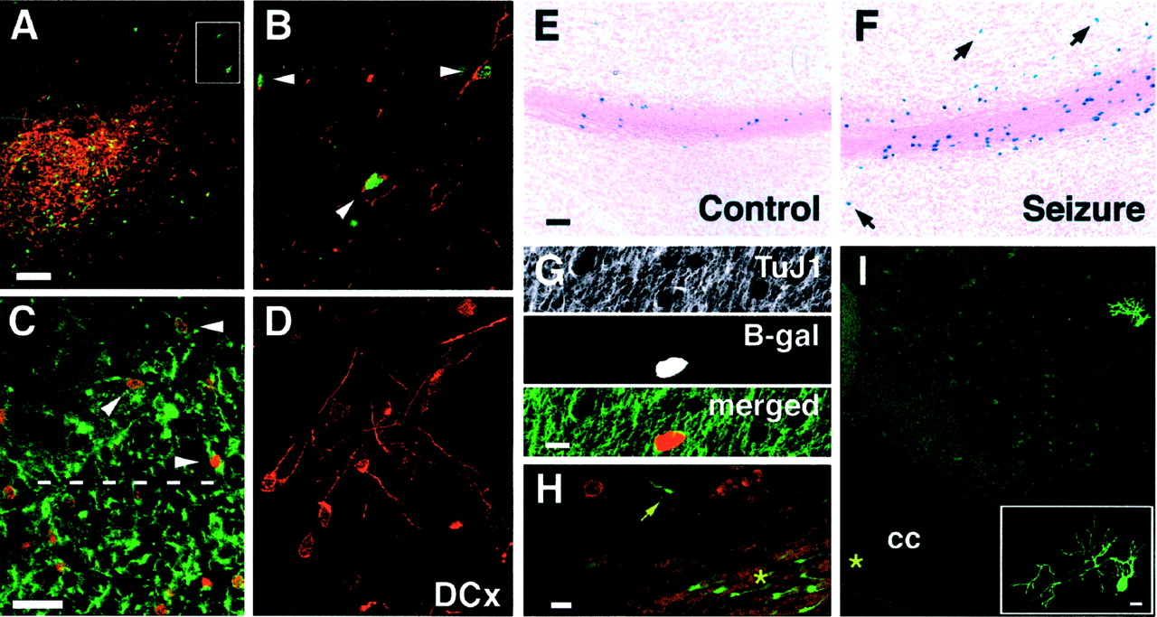 Prolonged Seizures Increase Proliferating Neuroblasts in the