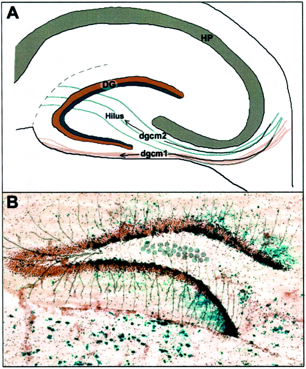 Clonal Architecture of the Mouse Hippocampus | Journal of Neuroscience
