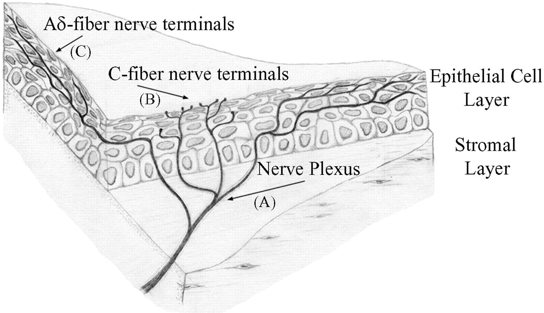 Calcium Signaling In Single Peripheral Sensory Nerve Terminals