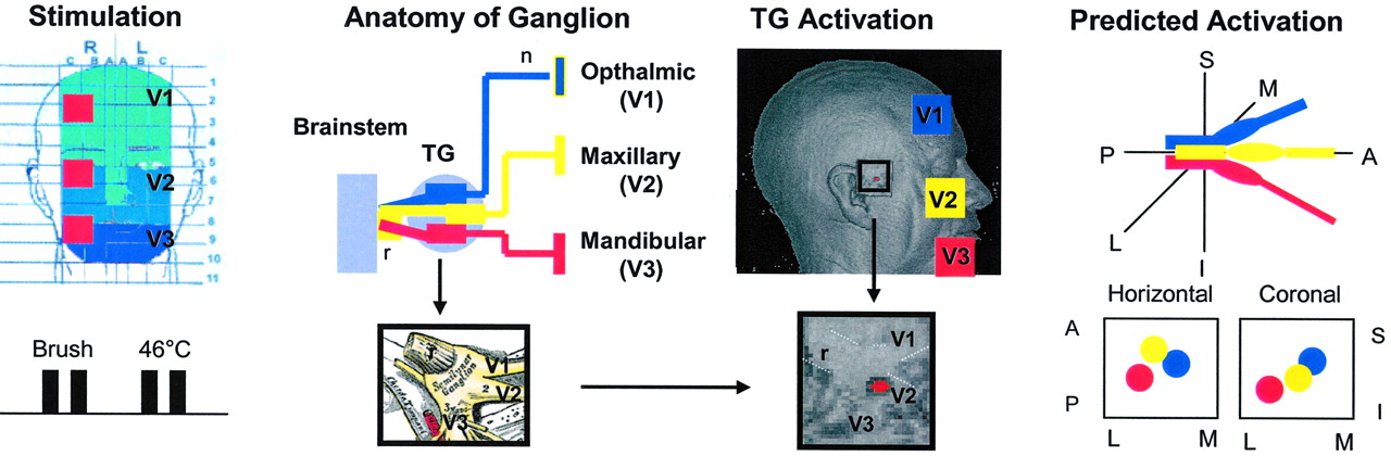 Specific and Somatotopic Functional Magnetic Resonance Imaging ...