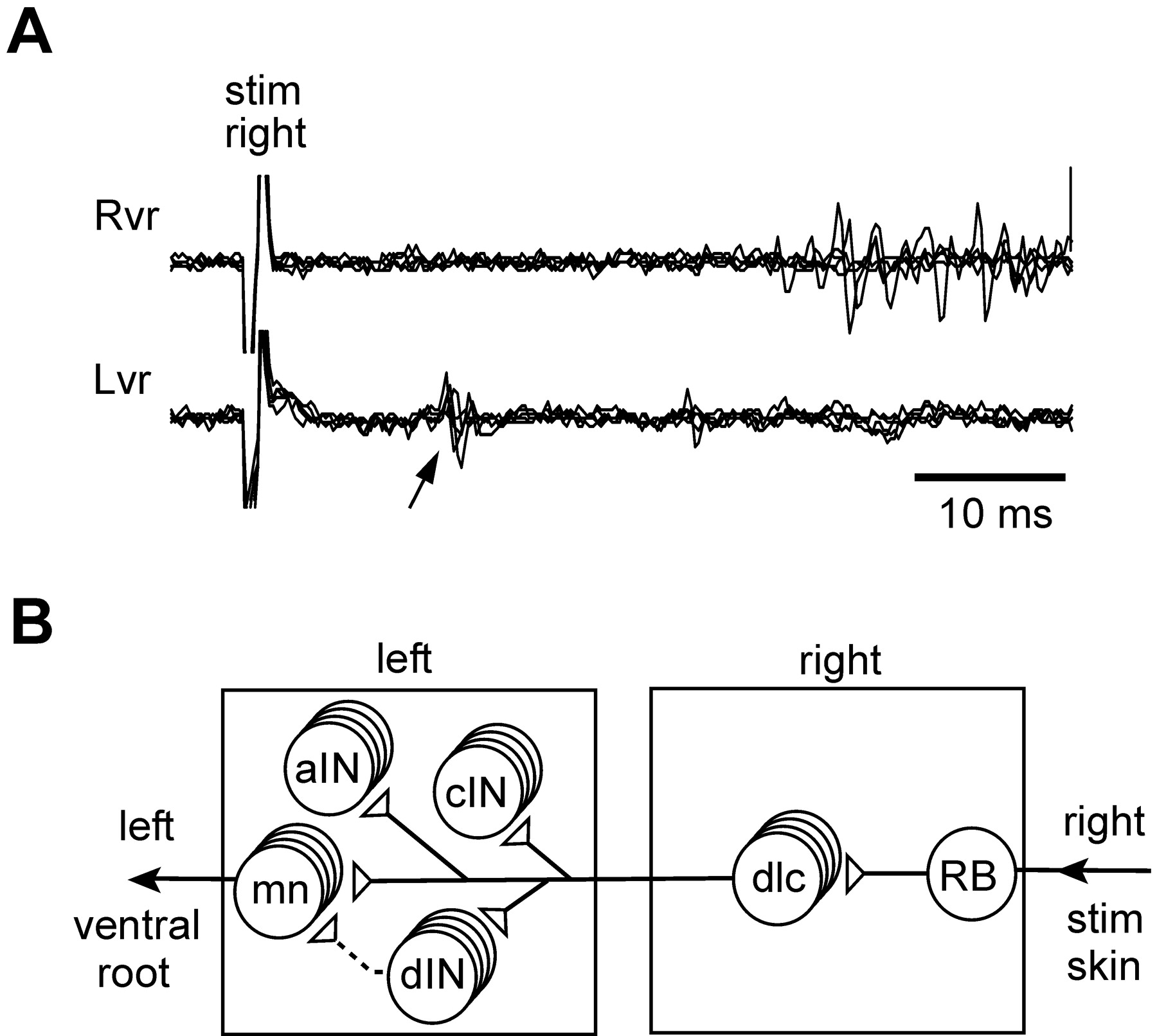 The Spinal Interneurons and Properties of Glutamatergic Synapses in ...
