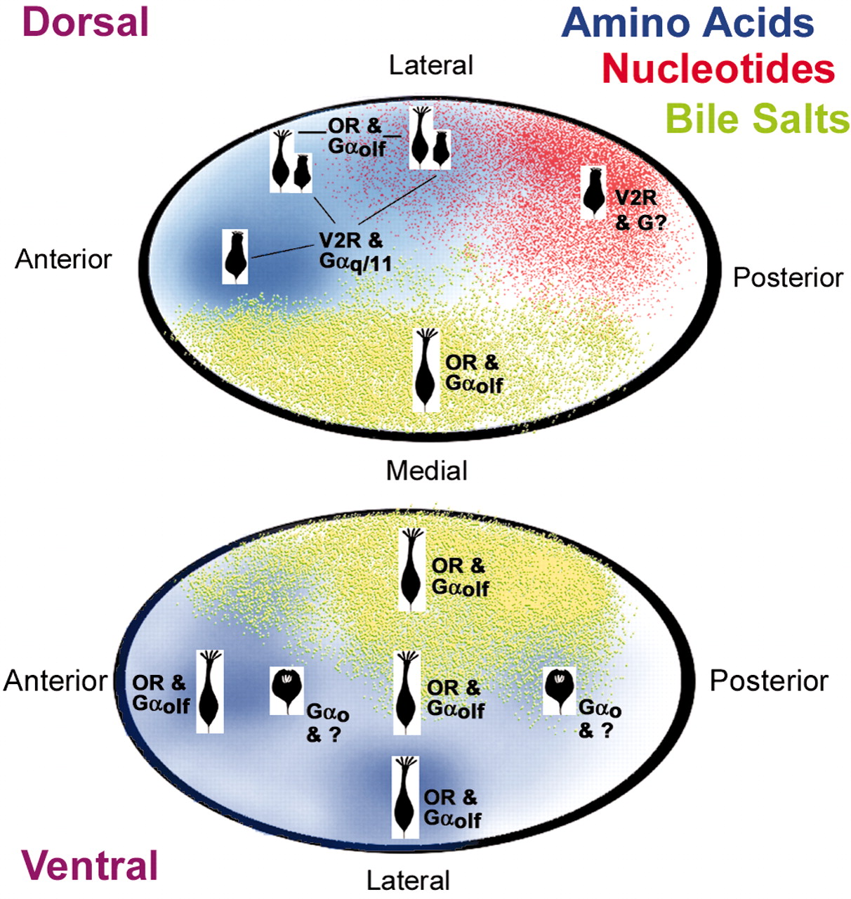 Correlation between Olfactory Receptor Cell Type and