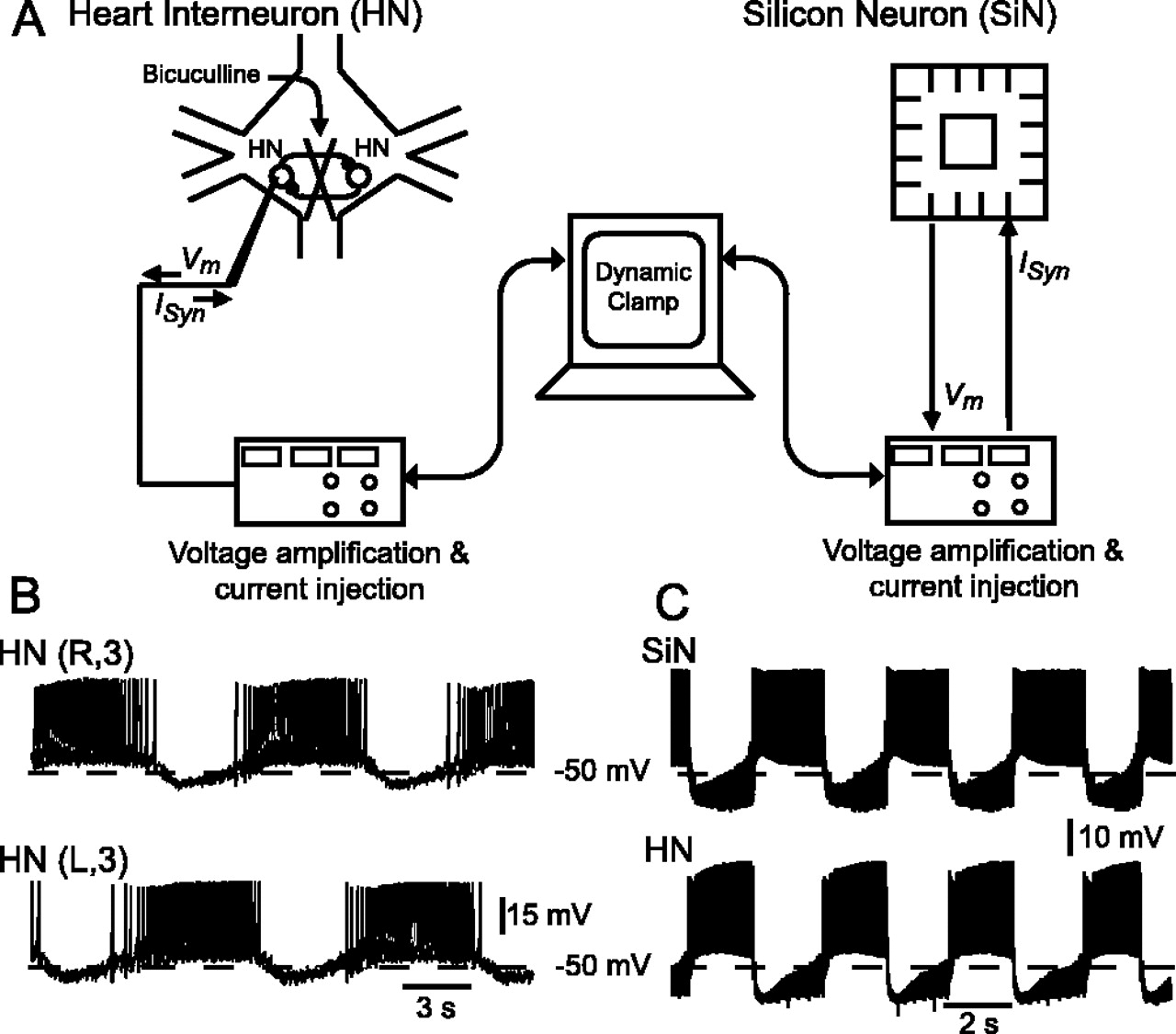 Using A Hybrid Neural System To Reveal Regulation Of Neuronal Isis Prepared With Various Digital Analog Circuits Download Figure