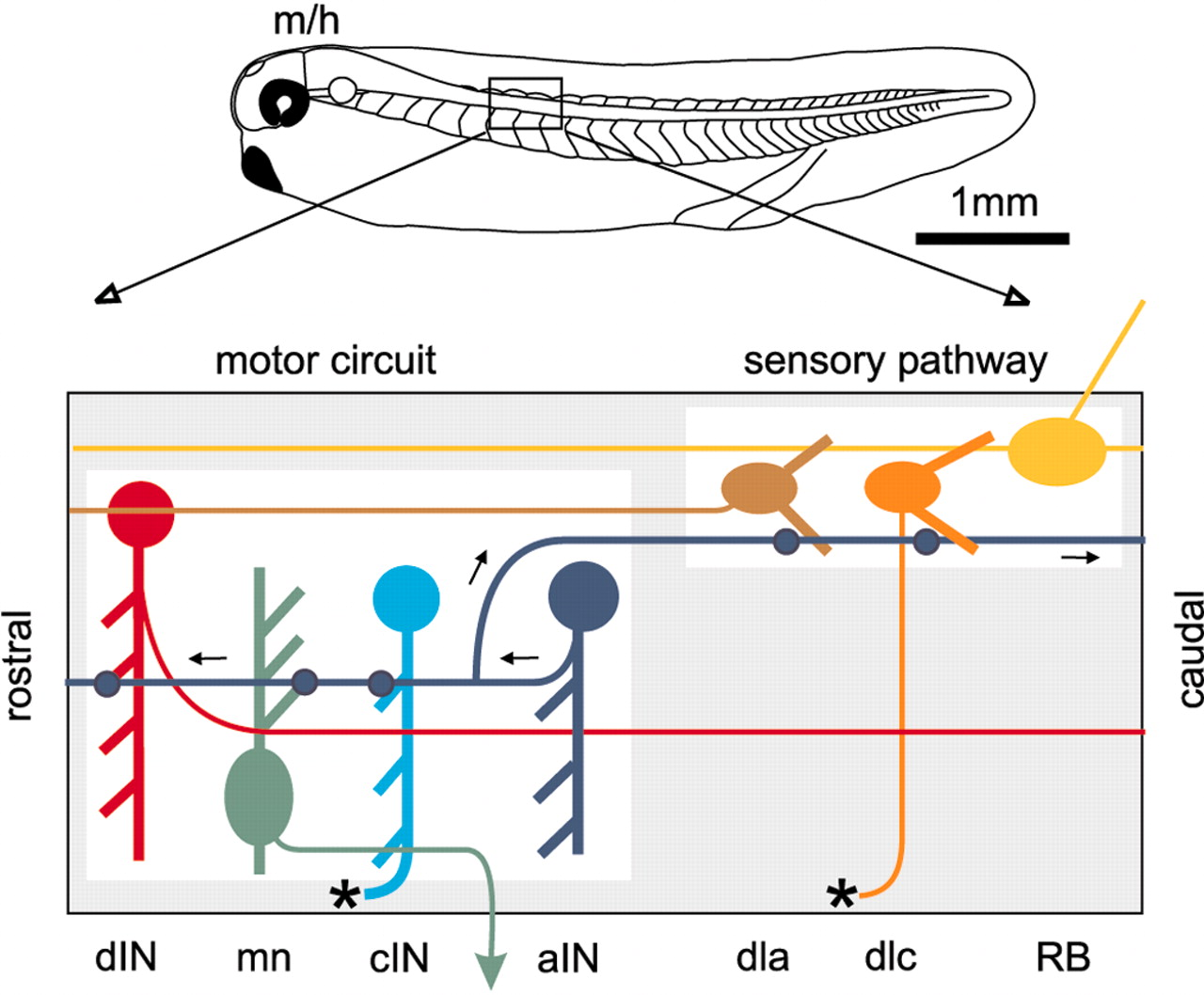 Figure 1 Primitive Roles For Inhibitory Interneurons In