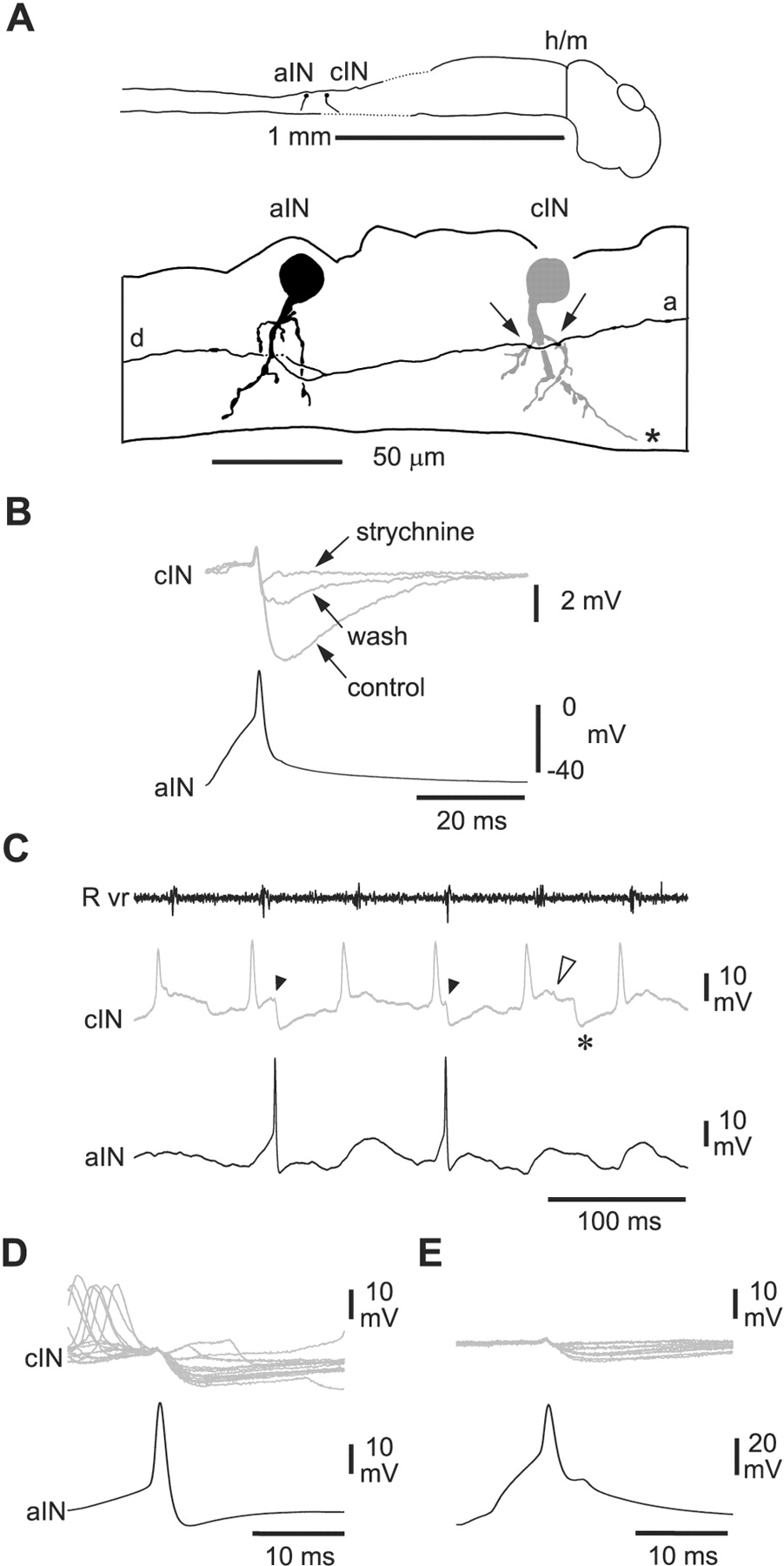 primitive roles for inhibitory interneurons in developing frog Spinal Cord Tracts Diagram download figure