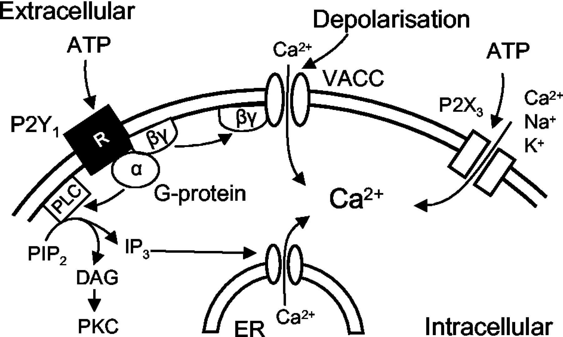 inhibition of n type voltage activated calcium channels in rat Lewis Dot Structure Examples download figure