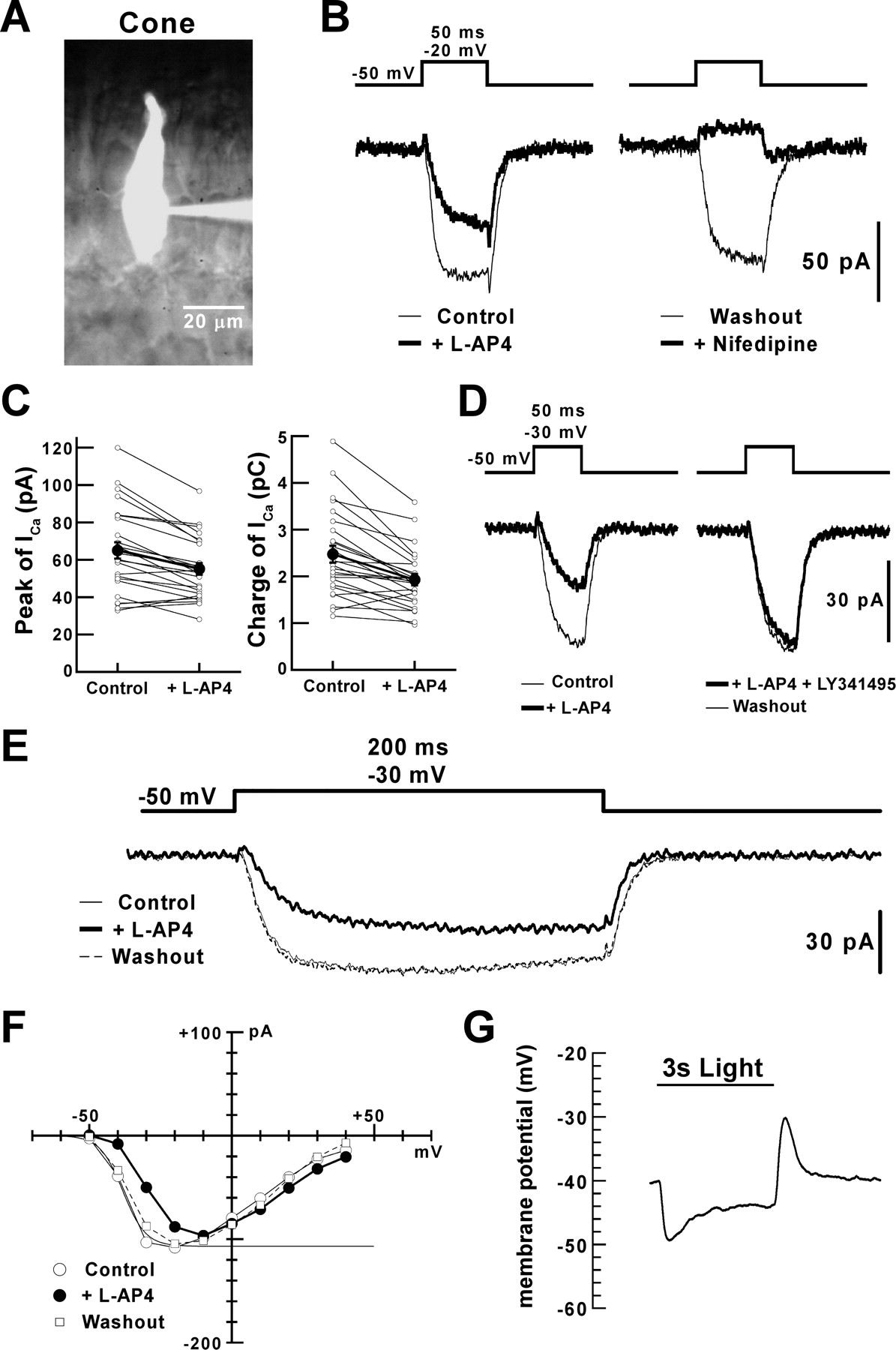 Group III Metabotropic Glutamate Receptors and Exocytosed Protons