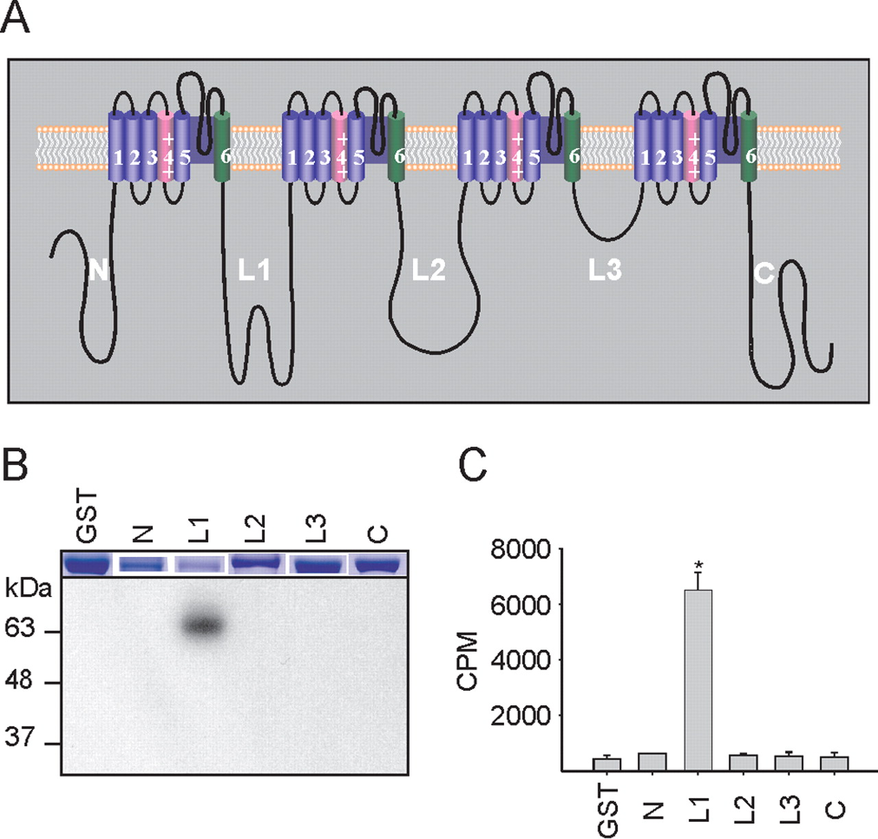 Voltage Gated Sodium Channel Nav16 Is Modulated By P38 Mitogen Cascaded Form C Dry Contact Wiring Schematic Download Figure