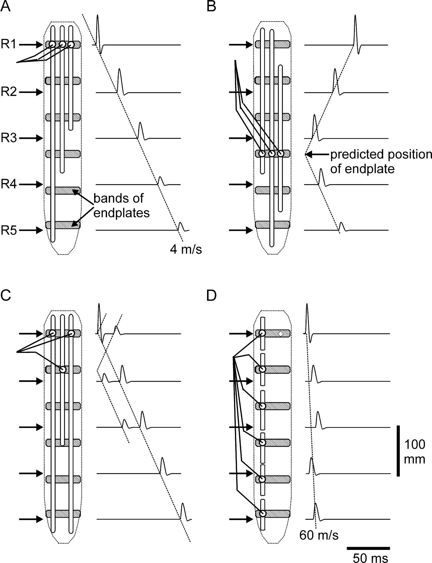 Muscle Fiber And Motor Unit Behavior In The Longest Human Skeletal