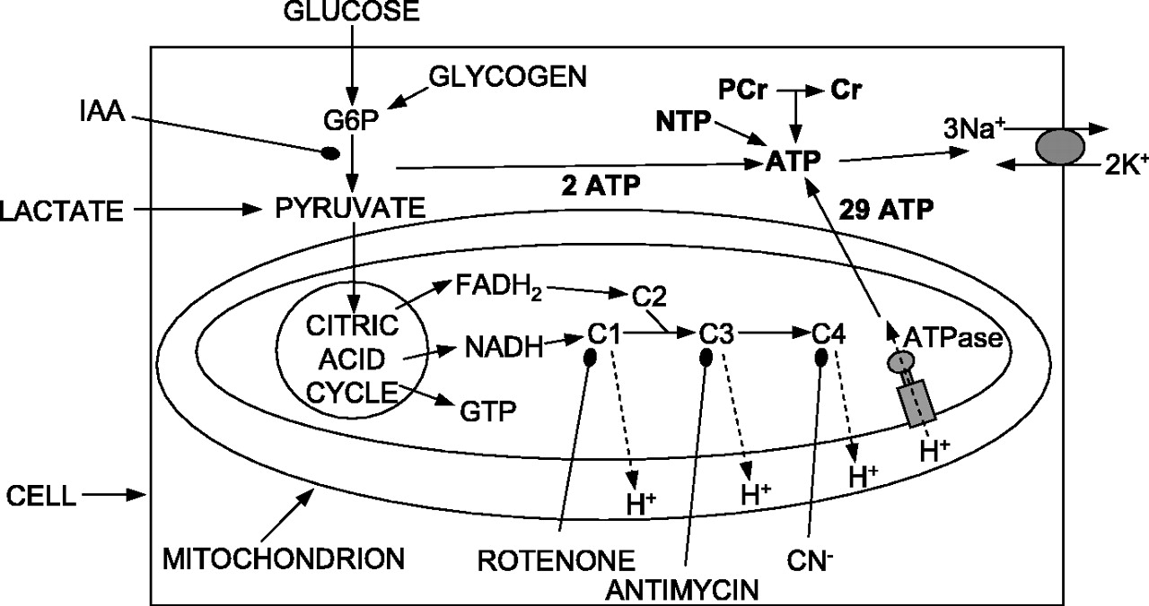 A preferential role for glycolysis in preventing the anoxic download figure ccuart Image collections