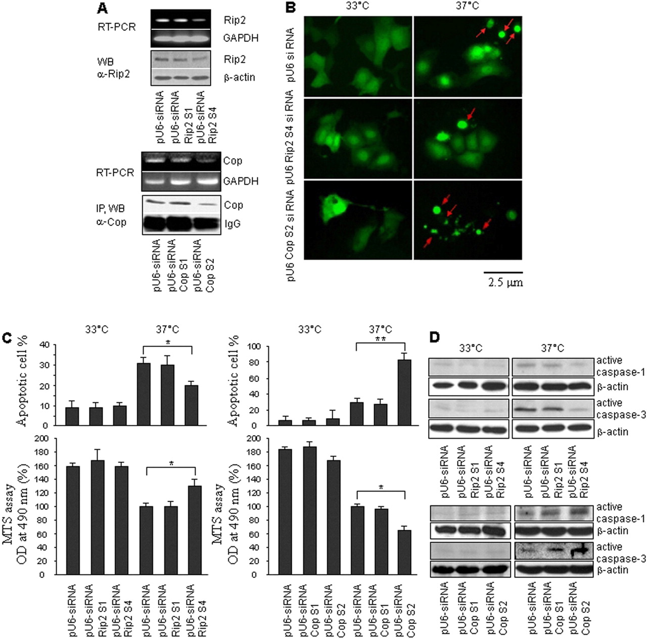 Dysregulation Of Receptor Interacting Protein 2 And Caspase