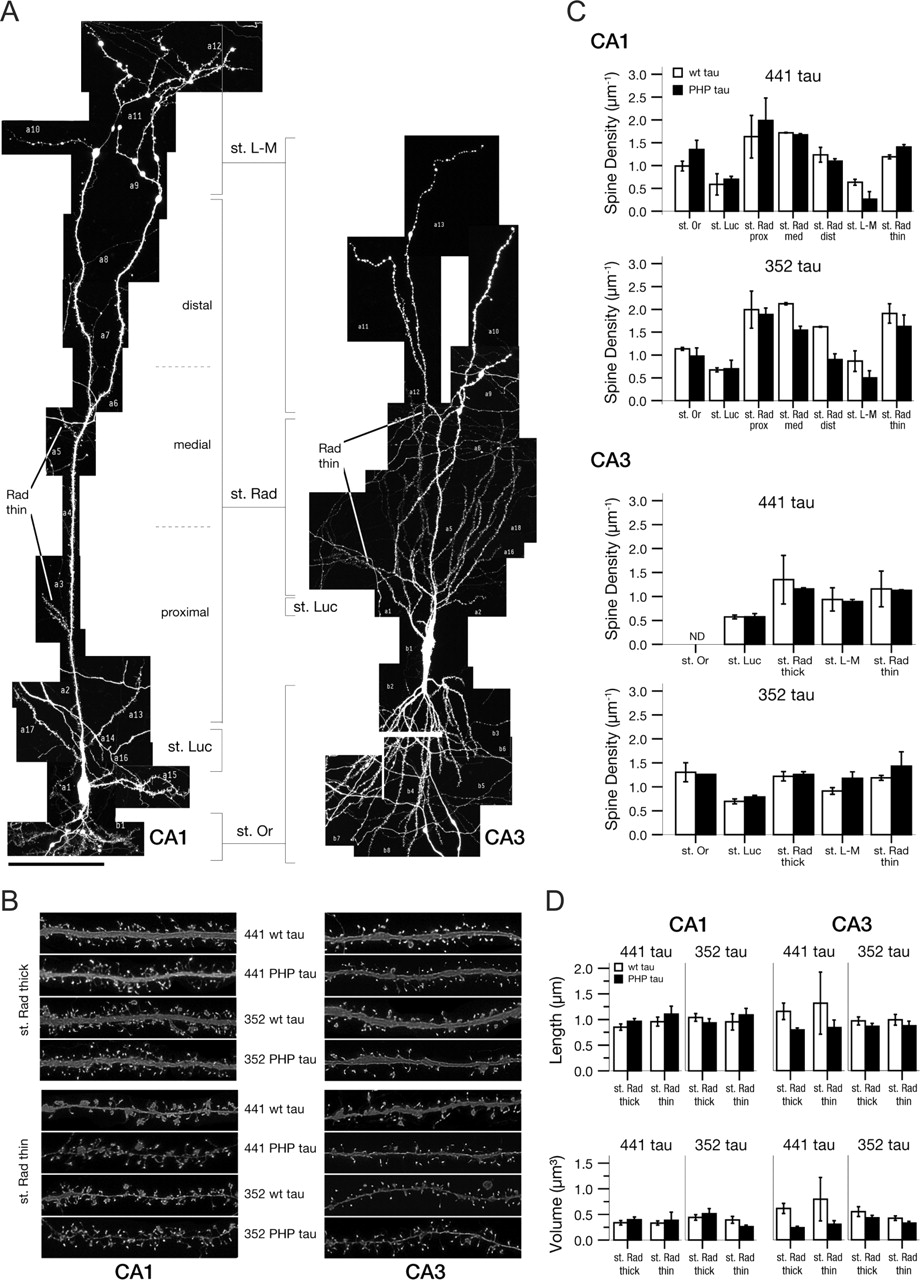 Tau Aggregation And Progressive Neuronal Degeneration In The Absence Parallelcombinationcircuits Whatisseriesparallelcircuitphp Download Figure
