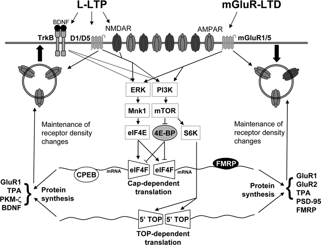 Current Advances in Local Protein Synthesis and Synaptic