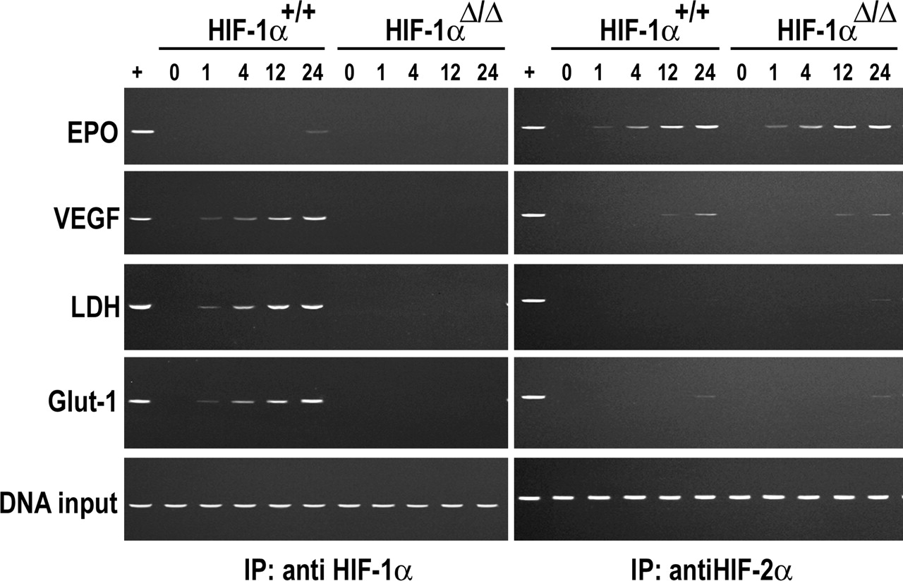 The Transcriptional Activator Hypoxia Inducible Factor 2 (HIF-2/EPAS ...