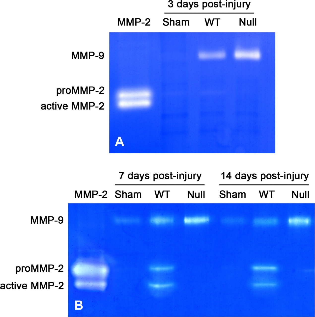 Matrix Metalloproteinase-2 Facilitates Wound Healing Events