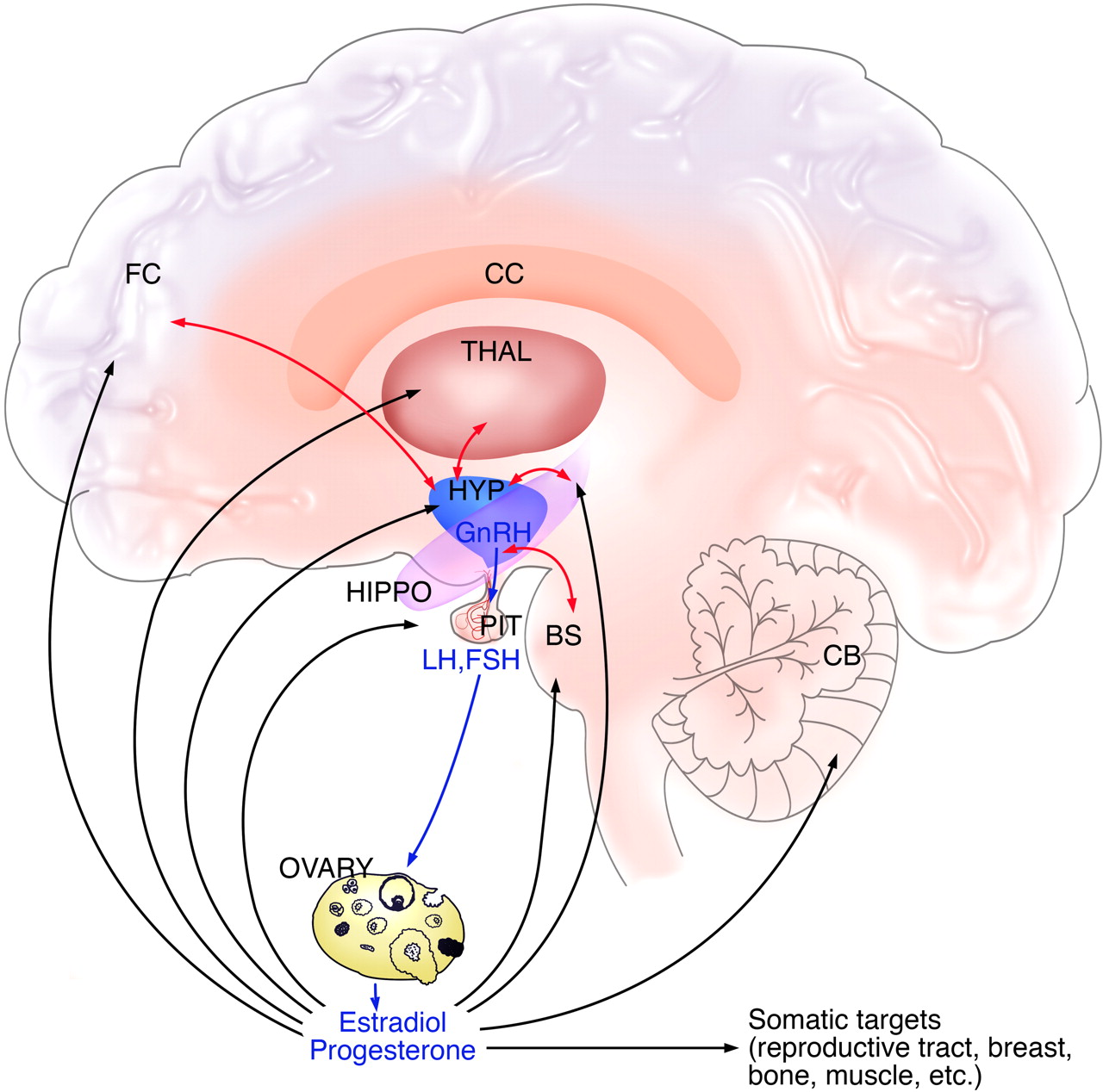 Estrogen, Menopause, and the Aging Brain: How Basic Neuroscience Can