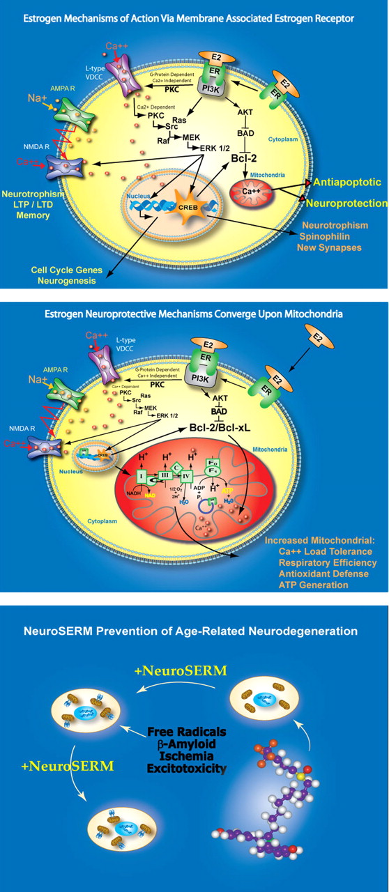 Estrogen, Menopause, and the Aging Brain: How Basic