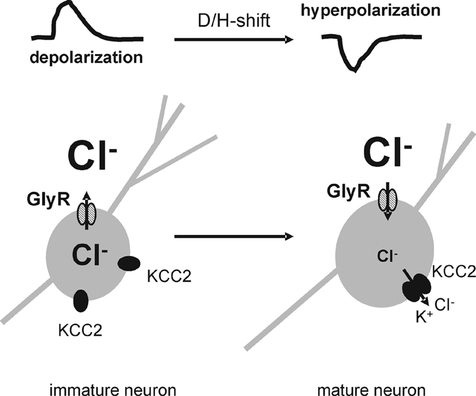 Oligomerization of KCC2 Correlates with Development of