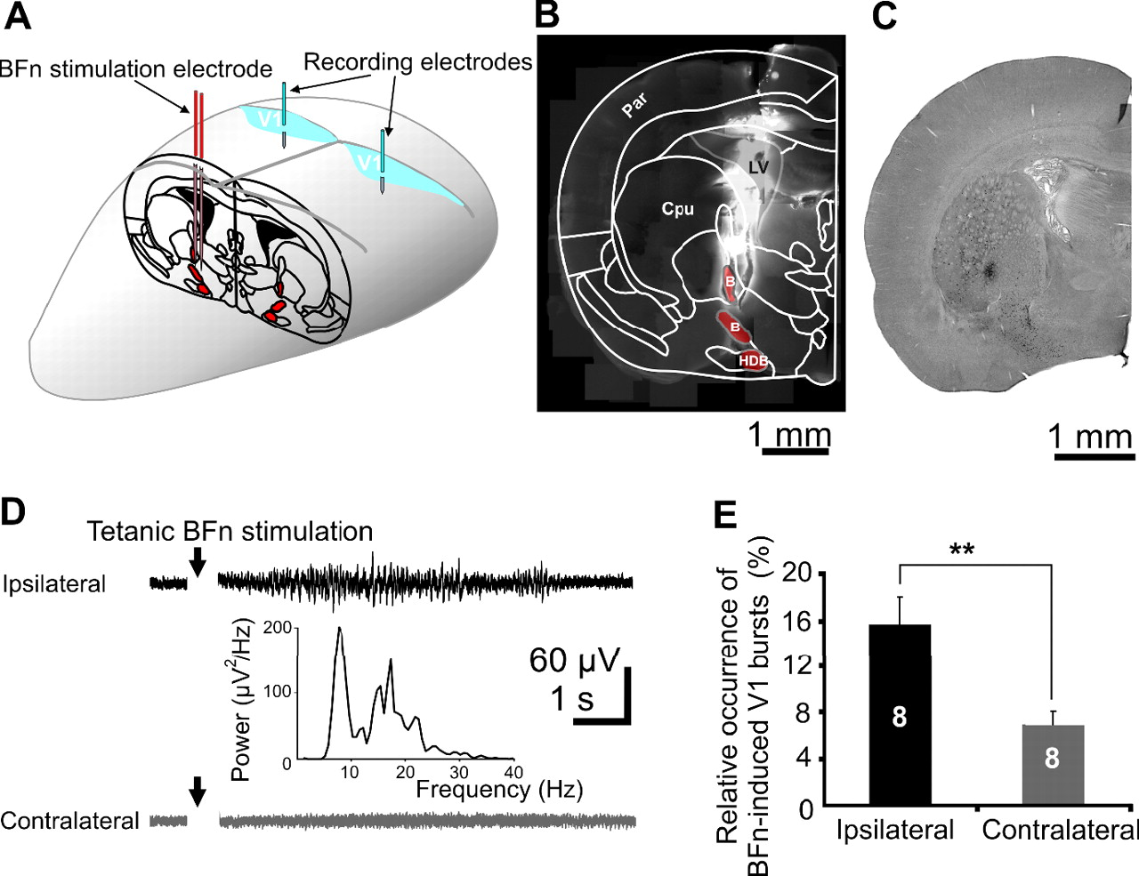 Cholinergic Modulation of Spindle Bursts in the Neonatal Rat Visual