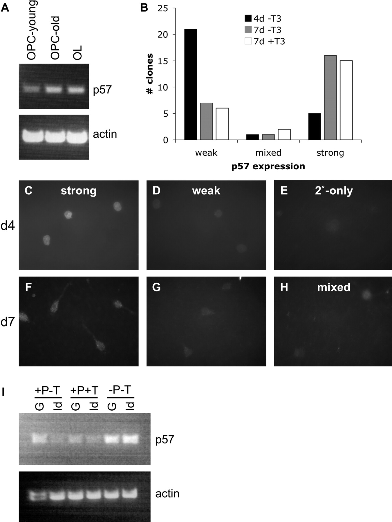 A Crucial Role for p57Kip2 in the Intracellular Timer that Controls
