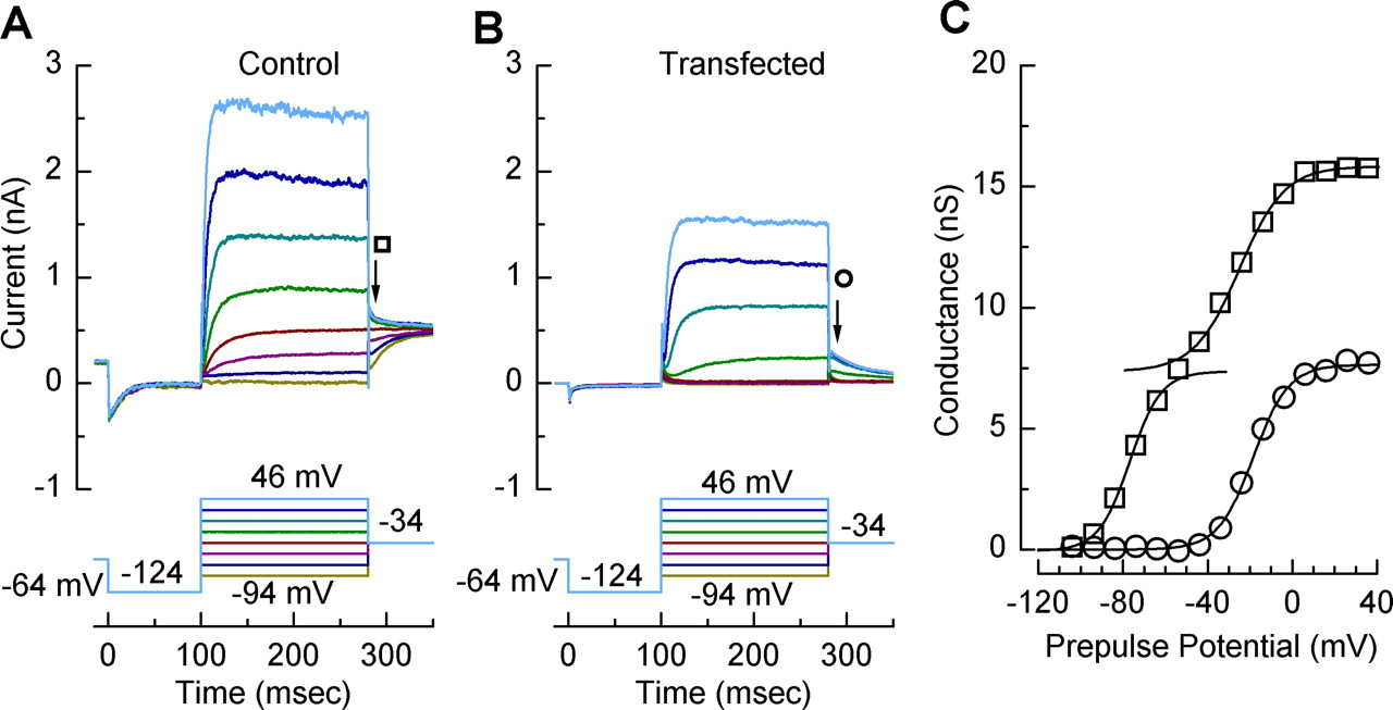 Dominant Negative Inhibition Of M Like Potassium Conductances In The Schematic A Typical Scott T Transformer Is Shown Below Download Figure