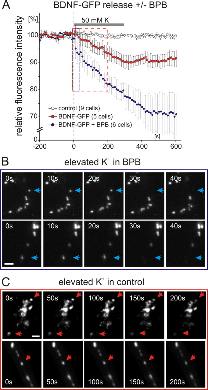 Postsynaptic Secretion Of Bdnf And Nt 3 From Hippocampal Neurons Suzuki Apv Fuse Box Download Figure