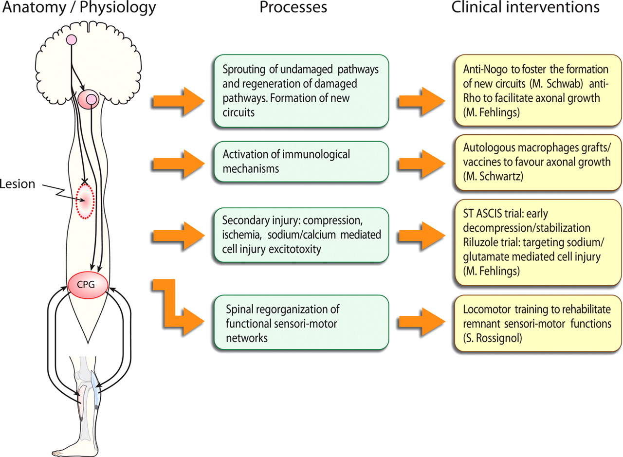 Spinal Cord Injury Time To Move Journal Of Neuroscience
