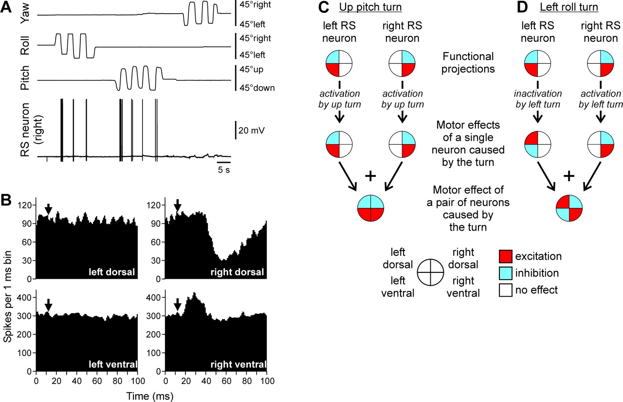 Sensory-Motor Transformation by Individual Command Neurons